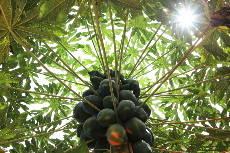 Nature's Grand Design Photography - Papaya Tree
